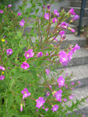 Zottiges Weidenrschen/Epilobium hirsutum