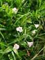 Liseron des champs/Convolvulus arvensis