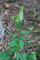 Raiponce en épi/Phyteuma spicatum