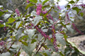 Amerikanische Kermesbeere/Phytolacca americana