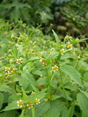 Galinsoga à petites fleurs/Galinsoga ciliata