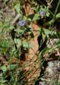 Mouron bleu/Anagallis foemina