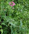 Breitblättrige Platterbse/Lathyrus latifolius
