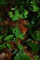 Dreiblütige Wolfsmilch/Euphorbia triflora subsp. kerneri