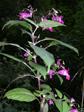 Balsamina ghiandolosa/Impatiens glandulifera