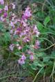 Camedrio comune/Teuricum chamaedrys