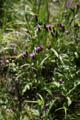 Gewöhnliche Färberscharte/Serratula tinctoria ssp. tinctoria