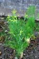 Gewöhnlicher Fenchel, Garten-Fenchel/Foeniculum vulgare ssp. vulgare