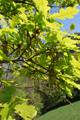Flaum-Eiche/Quercus pubescens