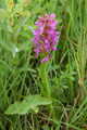 Orchis incarnat/Dactylorhiza incarnata