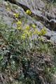 Französische Rampe (Hundsrauke)/Erucastrum gallicum