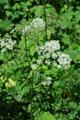 Herbe aux goutteux/Aegopodium podagraria