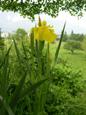 Iris jaune/Iris pseudacorus