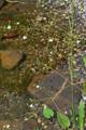 Gemeiner Froschlöffel/Alisma plantago-aquatica