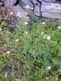 Gemeines Hirtentäschchen/Capsella bursa-pastoris