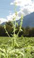 Gemüse-Spinat/Spinacia oleracea