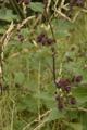 Hain-Klette/Arctium nemorosum