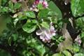 Holz-Apfelbaum/Malus sylvestris