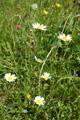 Gaudins Hügel--Margerite/Leucanthemum gaudinii