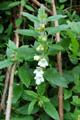 Mélitte à feuilles de mélisse/Melittis melissophyllum
