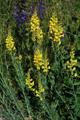 Italienisches Leinkraut/Linaria angustissima