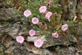 Liseron plante de Biscaye/Convolvulus cantabrica