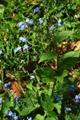 Kaukasusvergissmeinnicht/Brunnera macrophylla