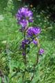 Knäuelblütige Glockenblume/Campanula glomerata