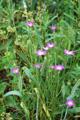 Nielle des blés/Agrostemma githago