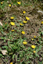 Epervière piloselle/Hieracium pilosella