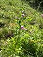 Epilobe à feuilles de basilic/Epilobium alsinifolium