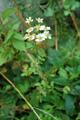 Erba amara vera, Matricale/Tanacetum parthenium
