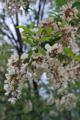 Robinie/Robinia pseudoacazia