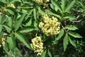 Roter Holunder/Sambucus racemosa
