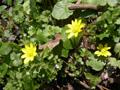Ranuncolo favagello/Ranunculus ficaria