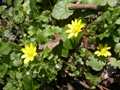 Scharbockskraut/Ranunculus ficaria