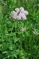 Gewöhnlicher Gebirgs-Kälberkropf/Chaerophyllum hirsutum
