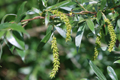 Silber-Weide/Salix alba