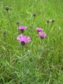 Skabiosen-Flockenblume/Centaurea scabiosa