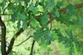 Stiel-Eiche/Quercus robur