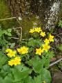 Sumpf-Dotterblume/Caltha palustris