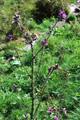 Sumpf-Kratzdistel/Cirsium palustre