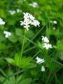 Echter Waldmeister/Galium odoratum