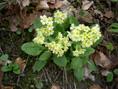 Primevère élevée/Primula eliator