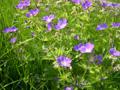 Wiesen-Storchenschnabel/Geranium pratense