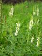 Mélilot blanc/Melilotus albus