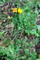 Costolina giuncolina/Leontodon radicata