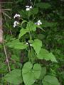 Lunaire vivace/Lunaria rediviva