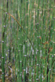 Winter-Schachtelhalm/Equisetum hyemale