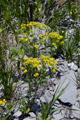 Zypressenblättrige Wolfsmilch/Euphorbia cyparissias